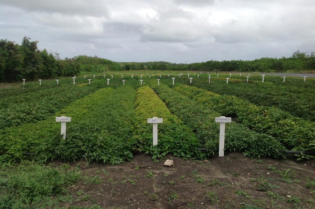 Sweet Potato – The Ideal Crop to Plant in Dry Seasons